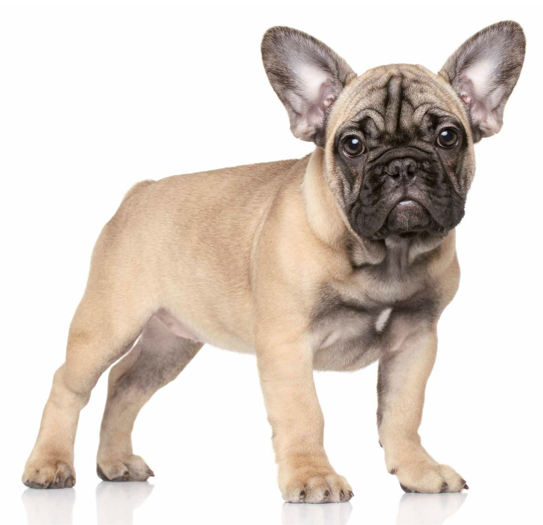 Bouledogue francese identikit di un 39 adorabile canaglia for Bouledogue francese