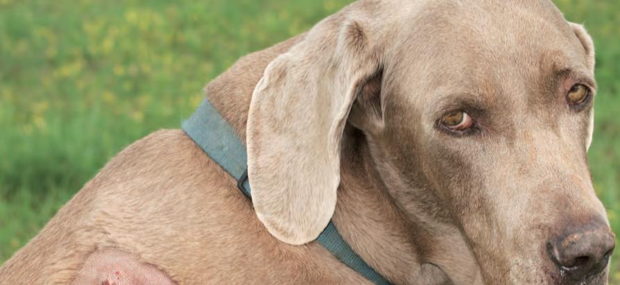Laserterapia per animali