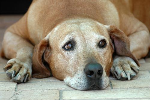 Problemi alla prostata nel cane
