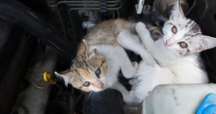 Gatto nel cofano