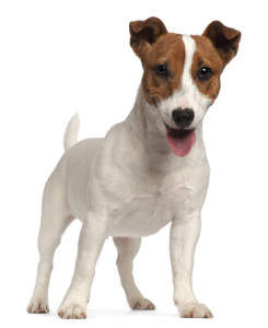 jack-russell-terrier1