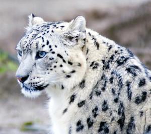 leopardo-delle-nevi-2