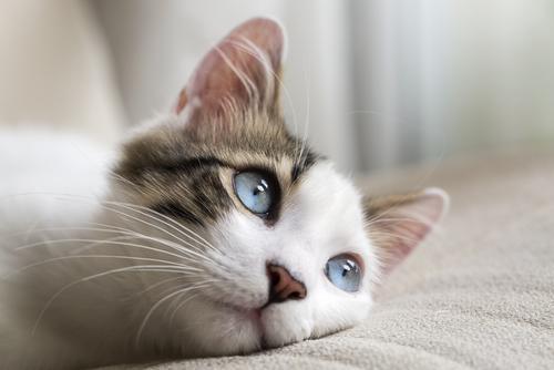 Stomatite del gatto
