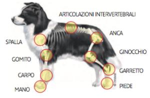 Articolazioni del cane