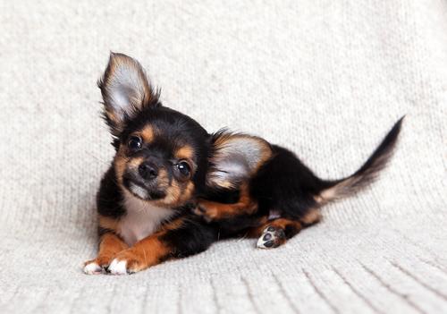 cane che si gratta le orecchie