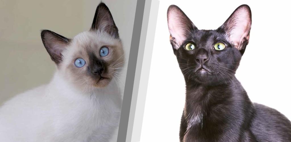 gatto siamese e gatto orientale