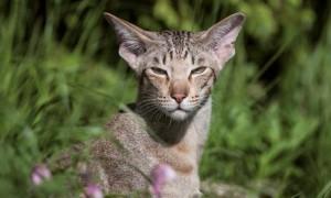 gatto orientale