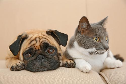 Un nuovo cucciolo in una casa con un gatti
