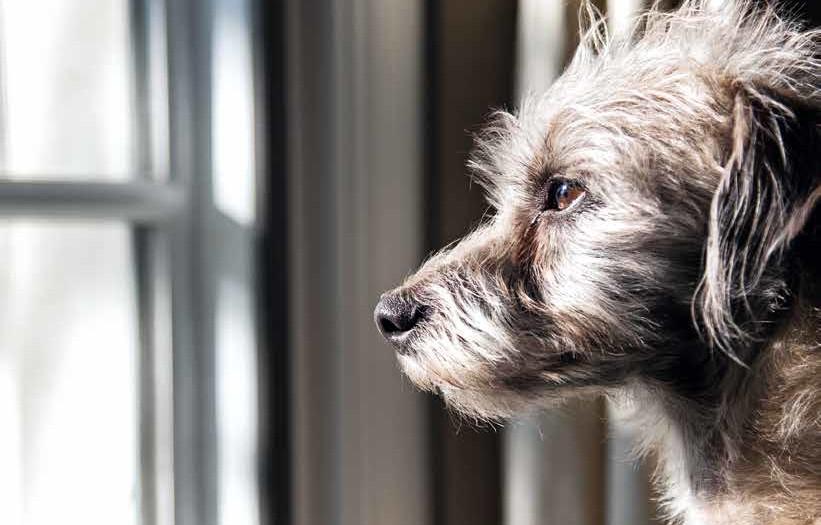 Cane che piange in casa