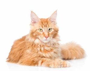 Miocardiopatia felina