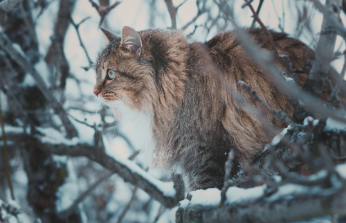 Siberiano