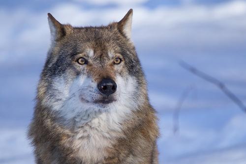 uccidere i lupi