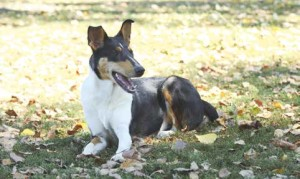 Smooth-Collie2