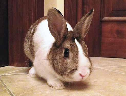 Coniglio nano in casa trendy importante comunque - Lettiera coniglio nano ...