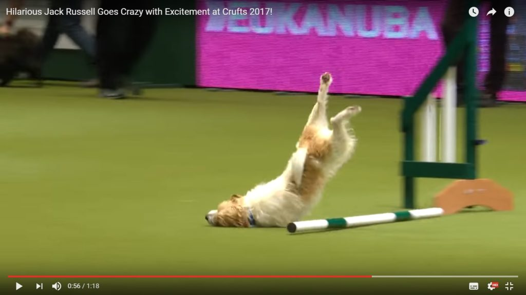 Jack Russell Agility