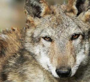 salviamo il lupo
