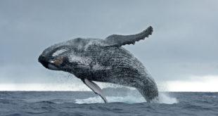 Balena felice