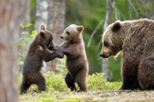 L'orso ritorna