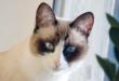 Snowshoe razza gatto