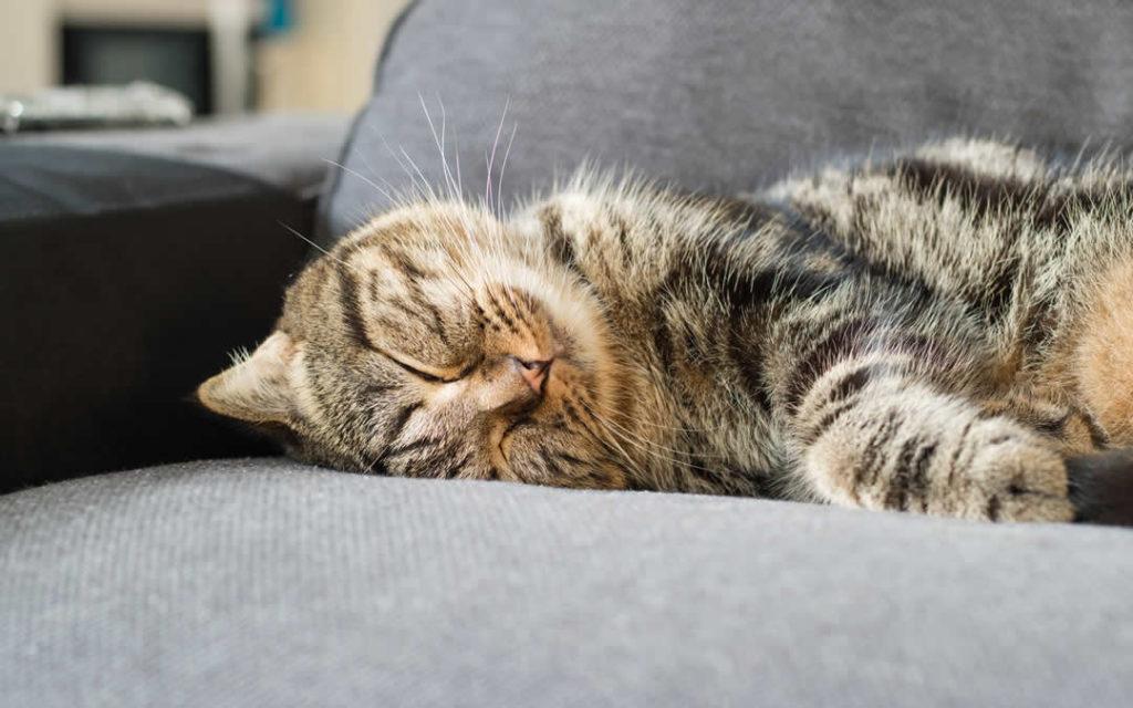 ipertiroidismo gatti pbde