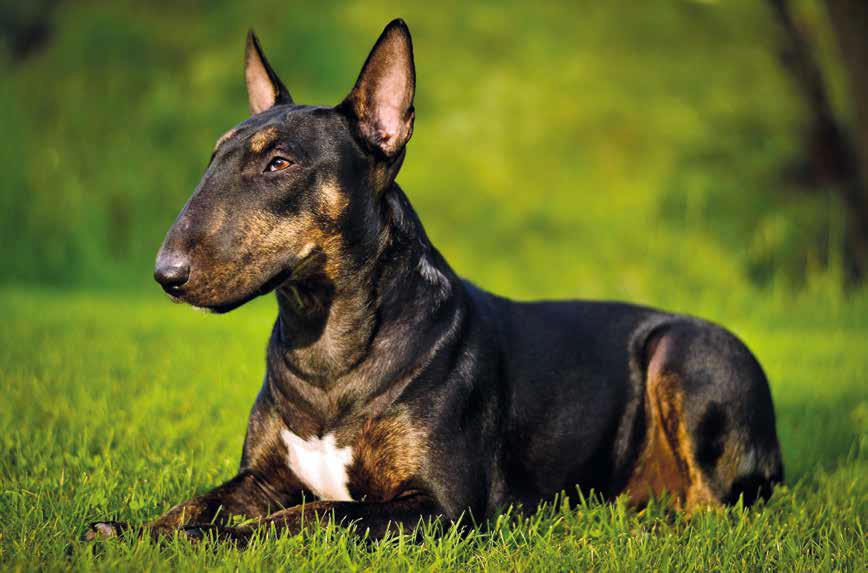 bull terrier nero