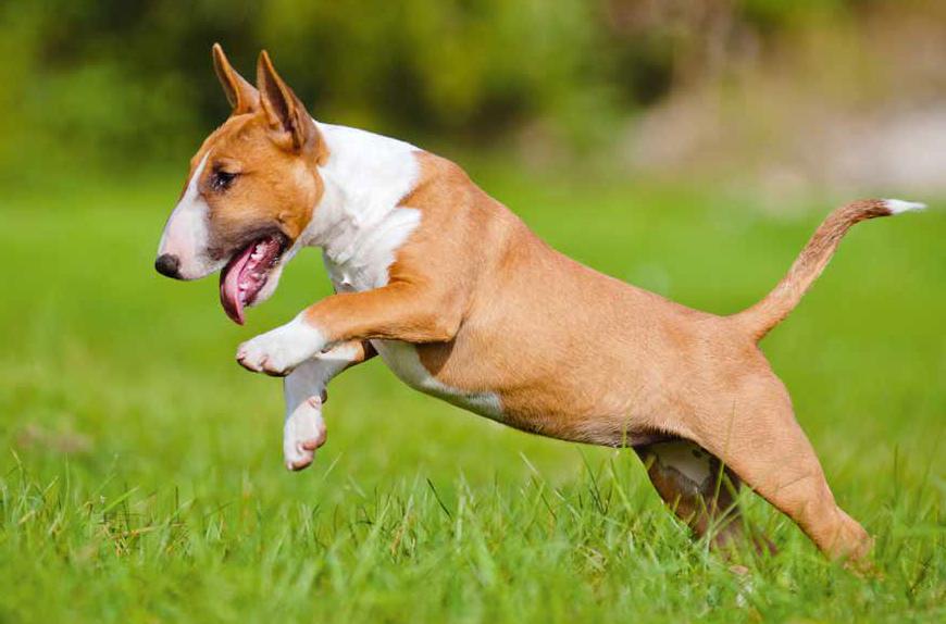 bull terrier marrone