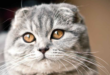 Scottish Fold cover