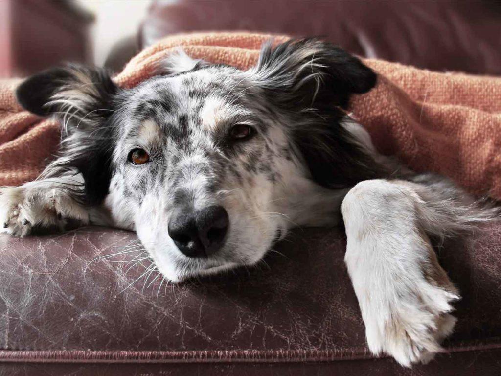 artrite canina