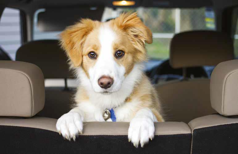 mal d'auto cane