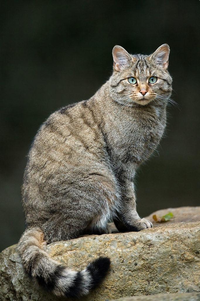 gatto medioriente