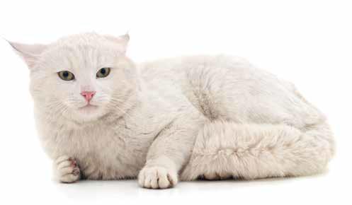 dermatite estiva felini