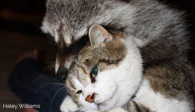 gatto procione
