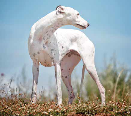 grayhound levriero inglese