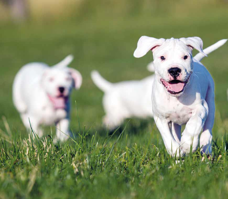 Dogo Argentino: carattere, caratteristiche e origini
