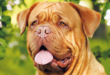 dogue-de-bordeaux_