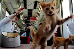 treno gatti giappone
