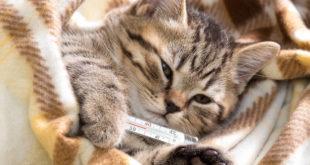 asma felina