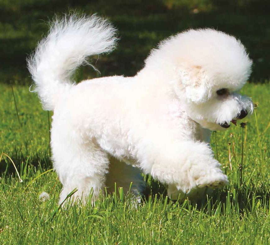 razza cane bolognese