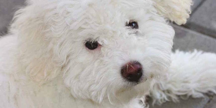 Razza cane bolognese carattere caratteristiche e foto for Tequila e bonetti cane razza