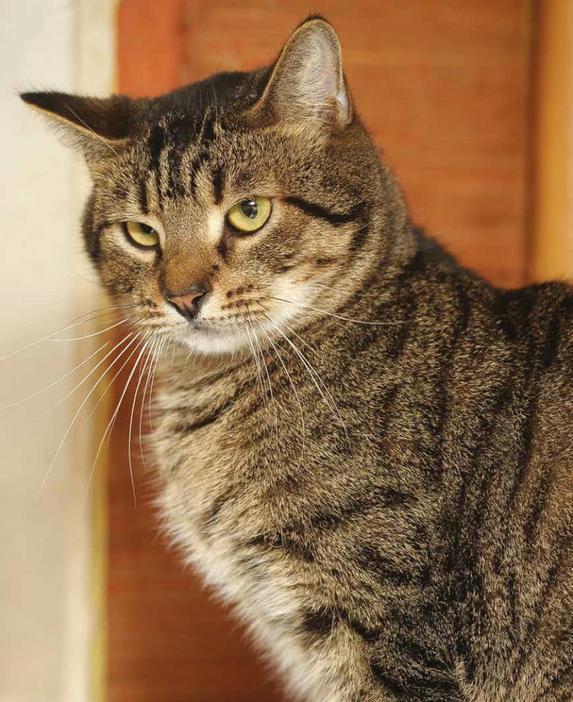 Gatto europeo razza carattere e caratteristiche fisiche - Gatto defeca per casa ...