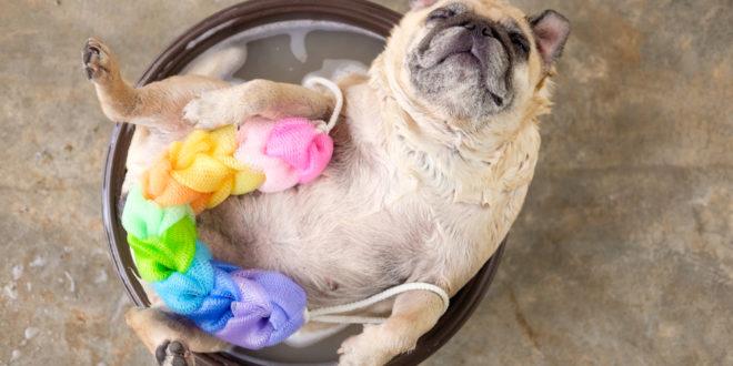 Incontri gratuiti sullla corretta igiene del cane quattro zampe - Come fare il bagno al cane ...
