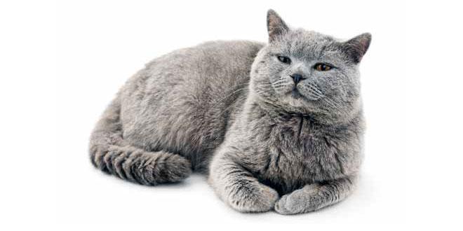Gatto con gli occhi arrossati cause e rimedi quattro zampe for Gatti con occhi diversi