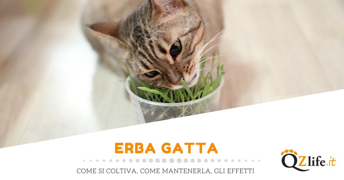 Erba gatta come si coltiva e gli effetti sul gatto for Erba gatta effetti