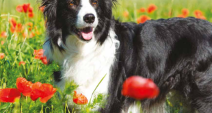 border collie intelligente