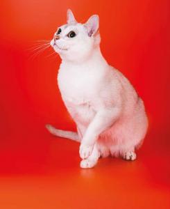 burmilla gatto compagnia