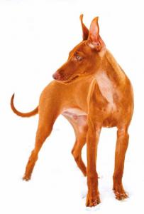 cirneco etna cane razza