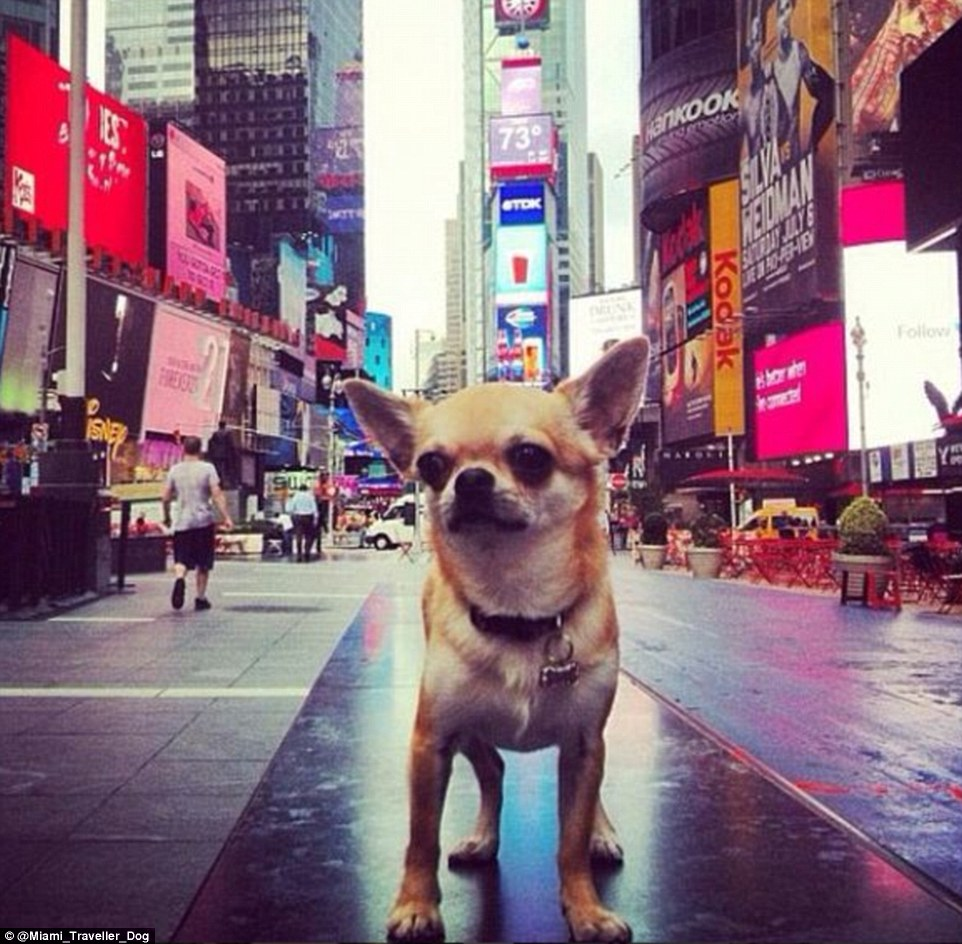 Miami, chihuahua, Times Square, Instagram, traveller
