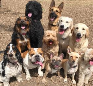 bulldog, roscoe, hamilton
