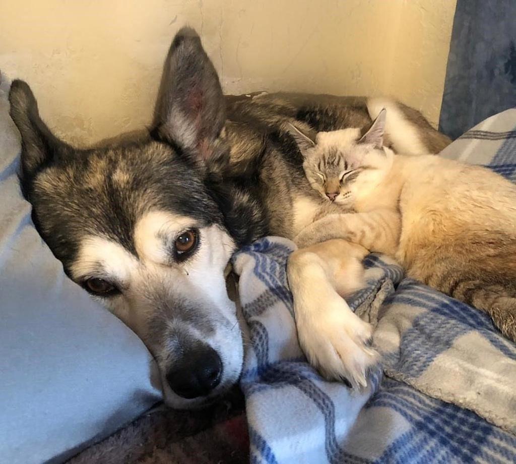 mamma husky e cucciolo di gatto