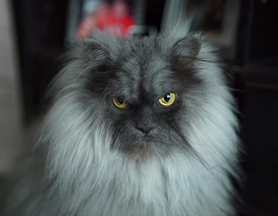 juno gatto arrabiato